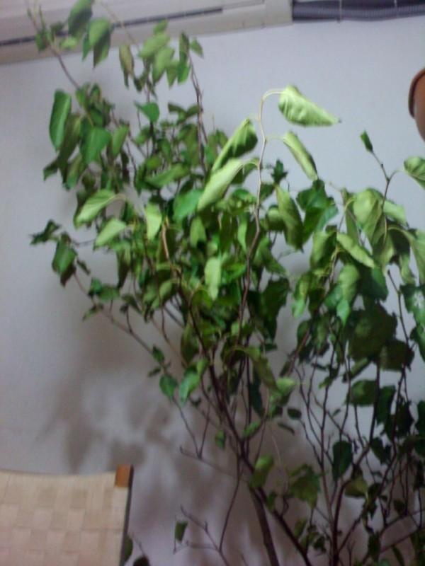盆栽桑树几年结果